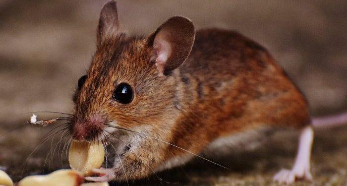 Jual Kamper Alami Pengusir Tikus