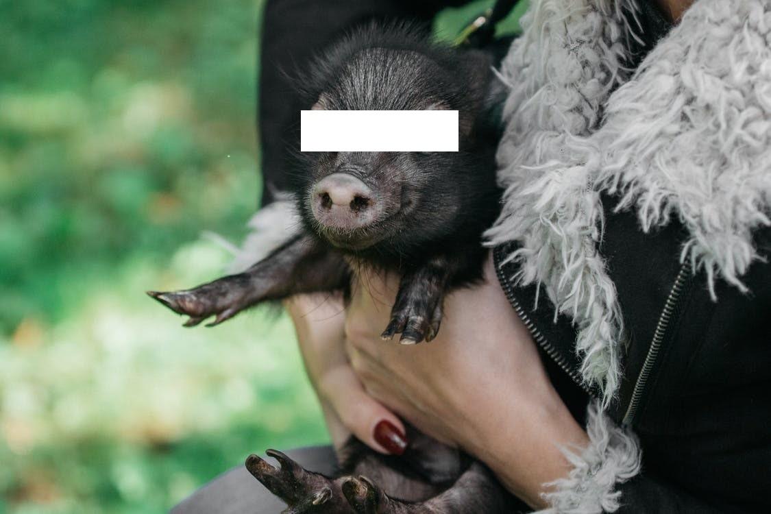 Babi Beruntung Menjadi Penolong Lolos dari Maling