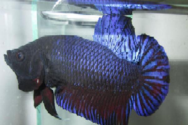 Tempat Jual Ikan Cupang Aduan Terganas Murah Dan Tepat